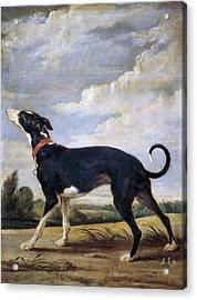 A Greyhound Lurking Acrylic Print