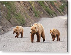 A Grizzly Bear Mother Two Cubs Are Acrylic Print