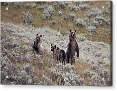 A Grizzly Bear With Its Two Cubs Acrylic Print