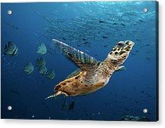 A Hawksbill Sea Turtle Swims Acrylic Print by David Doubilet