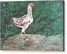 A Hen Acrylic Print by Usha Shantharam