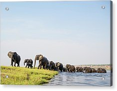 A Herd Of African Elephants Acrylic Print by Peter Chadwick