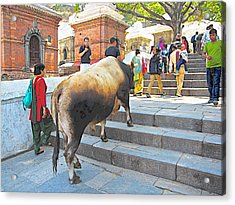 A Holy Cow Climbing Steps From Bagmati River In Kathmandu-nepal  Acrylic Print by Ruth Hager