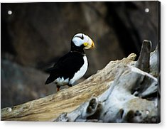 A Horned Puffin Sits On A Branch Acrylic Print by Sheila Haddad