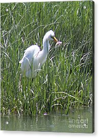 A Hungry Great Egret Acrylic Print