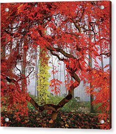 A Japanese Maple Tree Acrylic Print by Richard Felber
