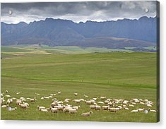 A Large Flock Of Merino Sheep Grazing Acrylic Print