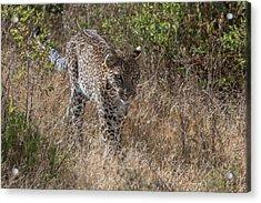 A Leopard, Panthera Pardus, Walking Acrylic Print by Tom Murphy