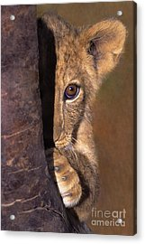 A Lion Cub Plays Hide And Seek Wildlife Rescue Acrylic Print