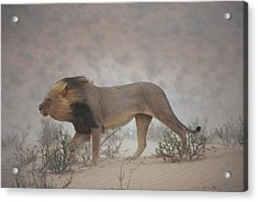 A Lion Pushes On Through A Gritty Wind Acrylic Print by Chris Johns