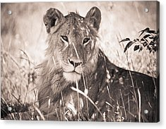 A Lioness Lays In The Shade Kenya Acrylic Print by David DuChemin