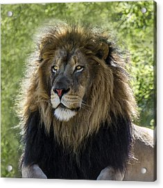 A Lion's Thoughts Acrylic Print