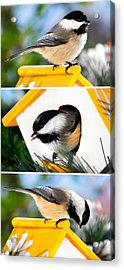 A Little Bird Told Me - Three Chickadees Triptych Acrylic Print