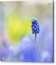 A Little Muscari Magic Acrylic Print