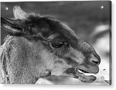 A Little Snack Acrylic Print by Dick Botkin