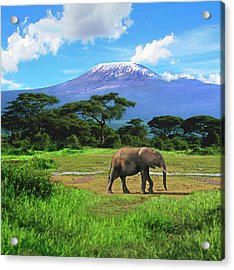 A Lone African Elephant (loxodonta Acrylic Print by Miva Stock