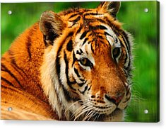 A Look From A Tiger Acrylic Print by Valarie Davis