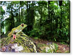 A Malayan Flying Frog Acrylic Print by Scubazoo