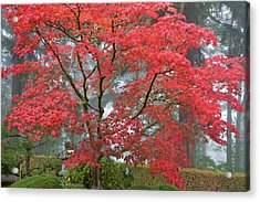 A Maple Tree In Fall Color Acrylic Print by William Sutton