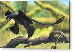 A Microraptor Perched On A Tree Branch Acrylic Print