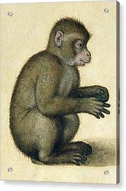 A Monkey Acrylic Print by Albrecht Durer