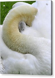 Acrylic Print featuring the photograph A Mother's Love by Dan Myers