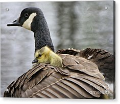 Acrylic Print featuring the photograph A Mother's Love by Heather King
