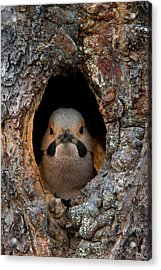 A Northern Flicker In The Hollow Acrylic Print