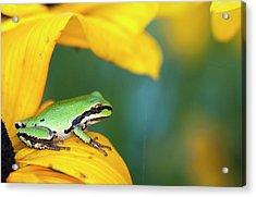 A Pacific Tree Frog  Pseudacris Regilla Acrylic Print by Robert L. Potts