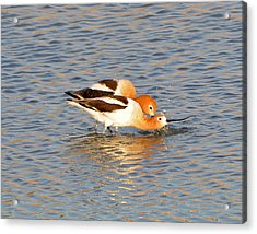Acrylic Print featuring the photograph A Pair Of American Avocets by Lula Adams