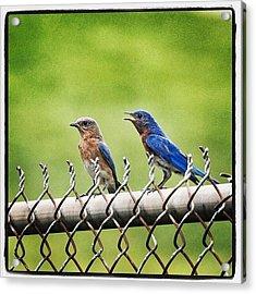 Nesting Bluebirds Acrylic Print by Heidi Hermes