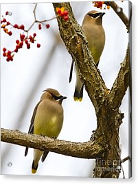 A Pair Of Cedar Waxwings Acrylic Print