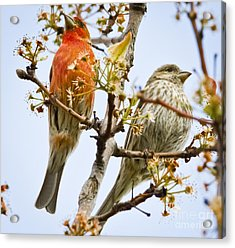 A Pair Of House Finches Acrylic Print