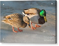 A Pair Of Mallards On Frozen Lake Acrylic Print