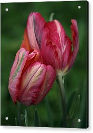 A Pair Of Tulips In The Rain Acrylic Print by Rona Black