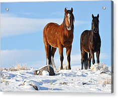 Acrylic Print featuring the photograph A Pair Of Wild Mustangs In Snow by Vinnie Oakes