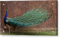 A Peacock Acrylic Print