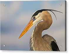 A Pensive Blue Heron Acrylic Print by Andres Leon