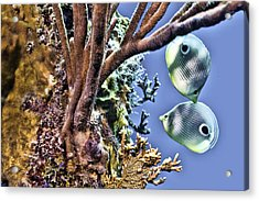 Two Butterfly Fish And Coral Reef Acrylic Print by Paula Porterfield-Izzo