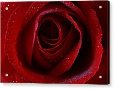 Acrylic Print featuring the photograph A Perfect Rose by Keith Hawley