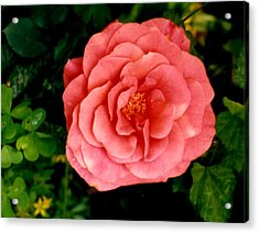 A Pink Rose Acrylic Print by Mary Armstrong