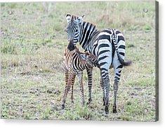 A Plains Zebra, Equus Quagga, Nursing Acrylic Print
