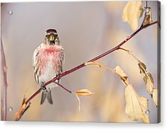 A Pretty Male Redpoll Acrylic Print by Tim Grams
