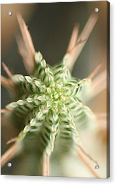 A Prickly Affair Acrylic Print by Jacqui Collett