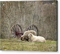 A Ram And Sheep With Attitude  Acrylic Print