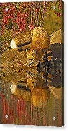 A Real Fox Acrylic Print