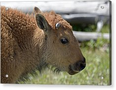 A Red Dog In Yellowstone Acrylic Print by Bruce Gourley