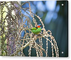 A Red-necked Tanager, Tangara Acrylic Print