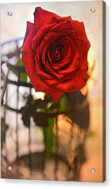 A Red Red Rose Acrylic Print