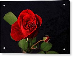 A Red Rose Acrylic Print by CarolLMiller Photography